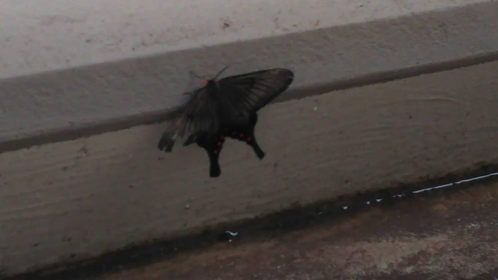 ベランダで珍しい模様の蝶を発見しました。名前を知りたくて画像検索しましたが、見当たりません。 なんという名前の蝶か、分かる方いらっしゃったら教えてください。