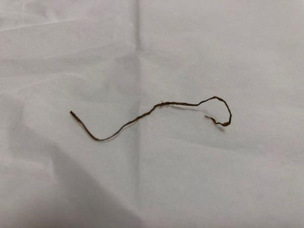家猫の猫草か回虫についての質問です。 猫のウンチから出てきました。 猫草を置いて1週間くらいです虫の可能性もあるのか心配してます。 長さは5cm程度 虫が猫草か判断できる方これはなんなのか教えていただきたいです。 よろしくお願いします。