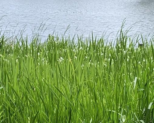 池の畔の草。名前ありますか?
