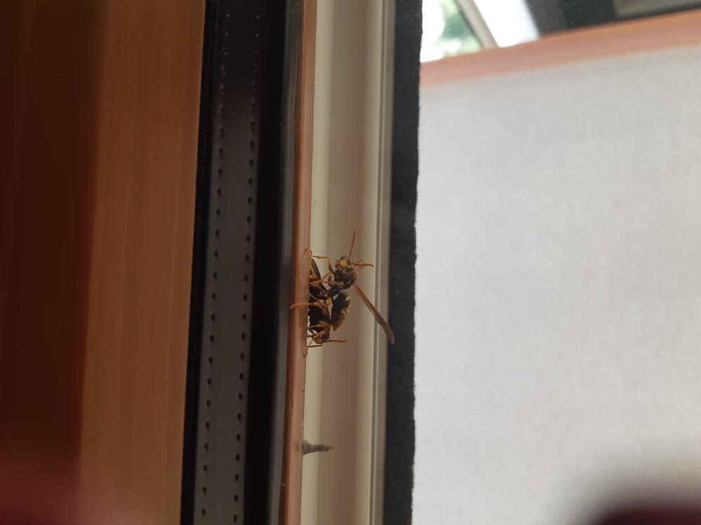 自宅の窓に蜂が何匹かいて小さい巣があります 何蜂かわかりますか??