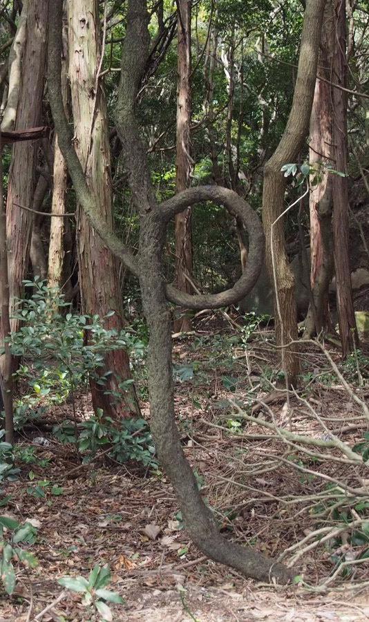 この木、いったいどんな目的で(ちょっと自然に出来たとは考えにくいので…)こうなったのか、分かる方いらっしゃいますか? 数年前に福岡のとある場所へ遠出した時の写真なのですが、たまたま山道を歩いているときにこの木を見つけました。 周りに他に何かがあるわけもなく、数百メートル先に神社や海水浴場があるくらいで、あまりにも自然に不自然な木だったので思わず写真を撮った次第です。 おそらく人の手によるものだと思うのですが、何か理由があるのなら知りたいなーと…。あと、この写真を残しておいても大丈夫なのかも気になります。