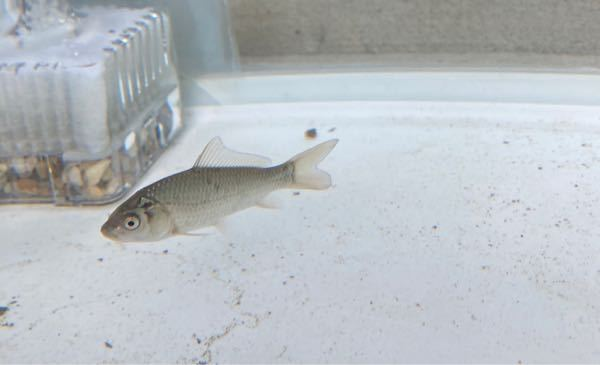 すみません。 息子が用水路でとってきた魚ですが これはコイですか? 人が近づくと逃げてしまい、ヒゲなどを確認できません。(これは奇跡の一枚) 旦那はフナと呼んでいますが フナとは顔つきが違うような気もします。 この勝負に誰か答えを下さい!