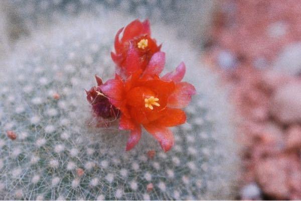 このサボテンの花の名前がわかる方教えてほしいです…ε≡ ヽ__〇ノ