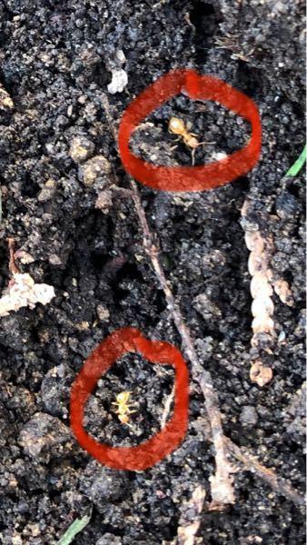 庭にあった切り株を抜根したらこんな蟻がたくさん出てきたのですが、これはシロアリでしょうか?