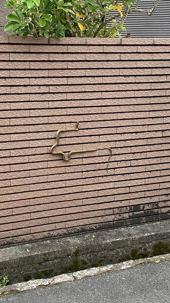 蛇の写真有。閲覧注意。 今日この蛇に遭遇しました。種類分かる方教えてください!よろしくお願いします。