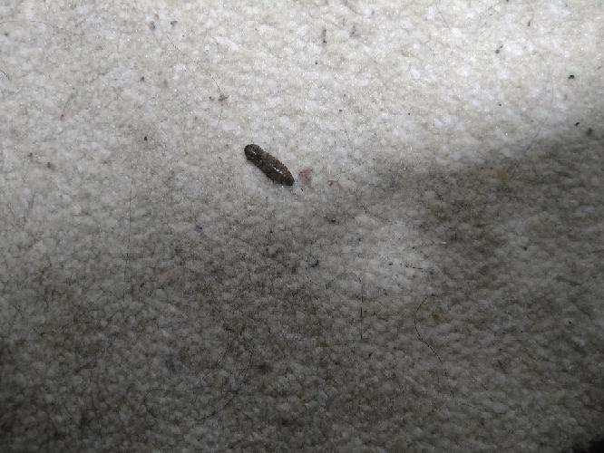 この虫がなにかわかる方いますか? 部屋に突然死骸があって、見たこともない虫なので驚いてます。