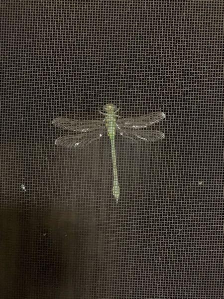 虫に触れないため、網戸越しでわかりにくいかもしれませんが、これ何トンボか分かりますか?