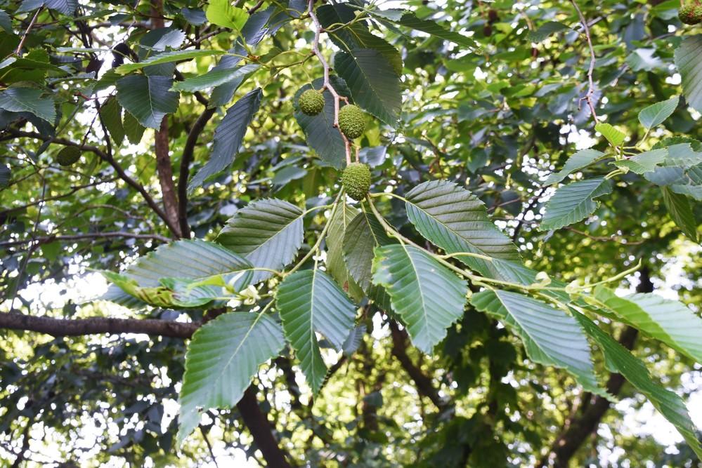 この実がなっている木の名前を教えてください。よろしくお願いいたします。