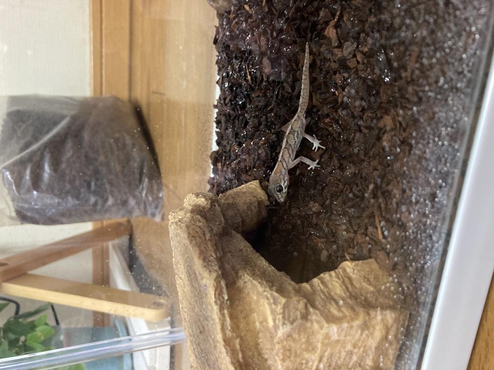 爬虫類初心者がソメワケササクレヤモリを飼い始めたのですがこの子は雄雌どちらでしょうか 購入先だと不明になっていたので… それと種類はノーマルですか わかる方いらっしゃったら教えてください。