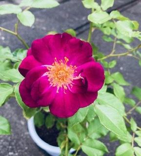この薔薇の品種名が知りたいです。 自分で調べたところ、ラプソディインブルーか、ブルーフォーユーではないかと思っています。お花に近づくといい香りがします。実物は画像よりピンク味があり、赤紫色です。