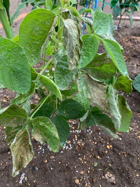 家庭菜園の枝豆が3〜4日前から急に枯れ始めました。 暑い日が続いていたので毎日朝と夕に1日2回水やりをしていましたが、苗を植えてからずっと1日2回の水やりだったので水のあげ過ぎが原因ではないと思います。 急に枯れ始める数日前に肥料をあげたのですが、それが原因なのでしょうか?
