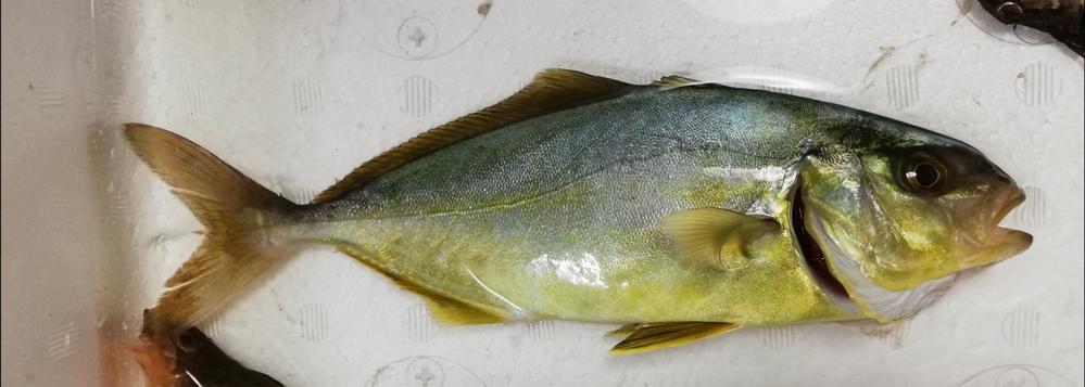 この魚、名前がわかる方いませんか? ぜひ教えて下さい! 今日福島の堤防で釣れました。 よろしくお願いします