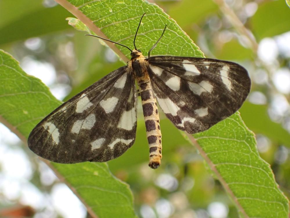 この蛾の種類を教えて下さい。