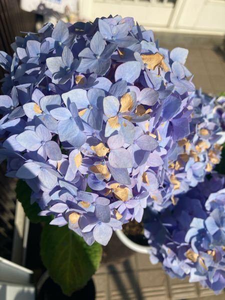四季咲きアジサイです 花?の一部分が茶色く枯れました 水不足? 水のやりすぎ? 日に当たりすぎ? よろしくお願いします。