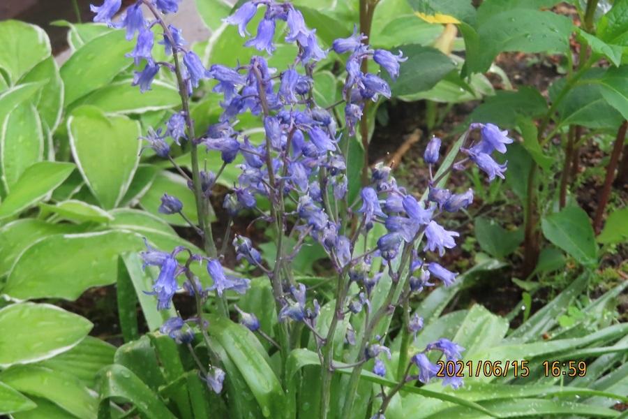 この花は ツリガネスイセンで間違いないですか よろしくお願いします。