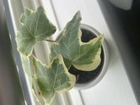 この植物の名前がわからないので教えて頂きたいのと、  丸くて小さい茶色っぽい斑点が少しできてしまったのですが、 育て方のアドバイス頂きたいです。