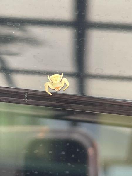 車に見たことのない蜘蛛がついていました。 体長2~3mmほどでしたが何と言う蜘蛛でしょうか。