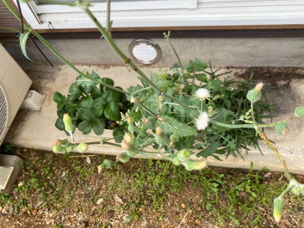 お花について質問です。 プランターに植えたはずのないものが、このように咲いていました。 近所の道端でよく見かけるお花なのですが、なんというお花なのか、誰かわかる方、教えて頂きたいです。 よろしくお願い致します。