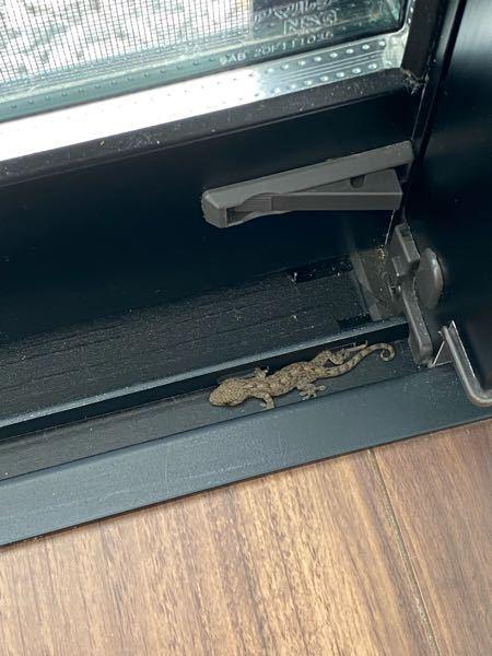 【大至急】これはヤモリですか? ヤモリは家を守ってくれるとか聞きますが、逃したら良いのですか? 小さくて弱ってそうなのですが、何か出来ることはありますか?