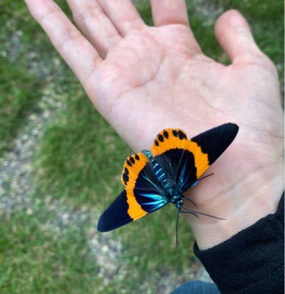 沖縄の蝶々です。 お名前ご存知の方教えて頂けますか? 駐車場で低くしか飛べずにパタパタしていたのを助けました。道路に出ると、危ないので。 羽根はとてもキレイで、元気。 もしかして、羽化したて...