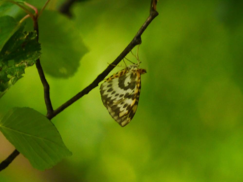 この蛾の名前を教えてください。