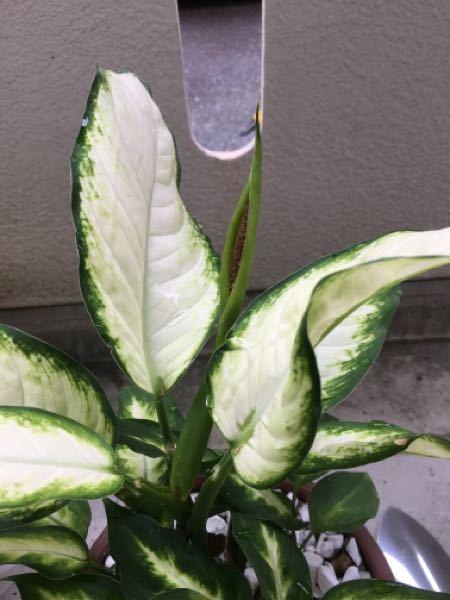観葉植物の部位の名前を教えて下さい! ディフェンバキアカミーラを育てているのですが、茎の真ん中から茶色いものが覗いています。この部位の名前を教えて下さい!