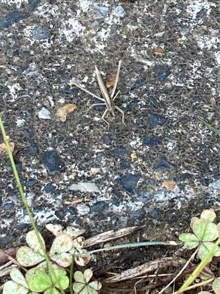 この虫は、ショウリョウバッタですか?