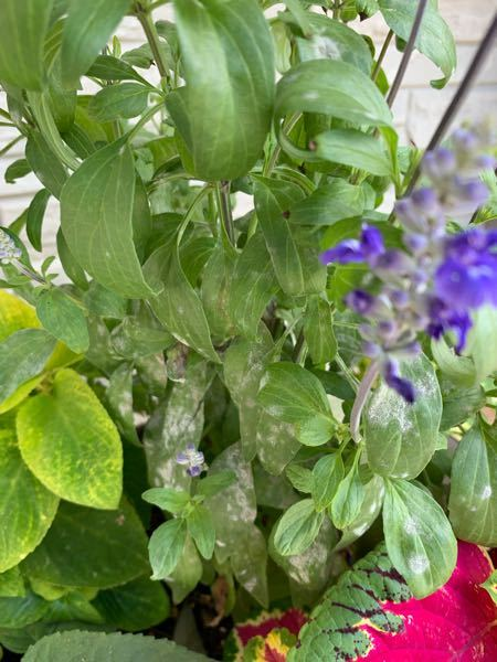 鉢で育てていたサルビアの葉が 白くなってしまいました… これは うどんこ病ですか?