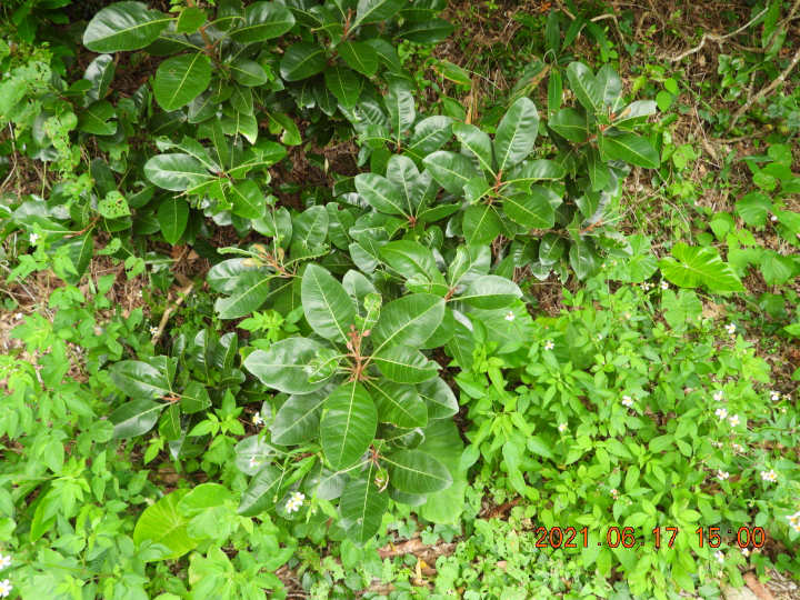 この幼木はオオバイヌビワですか?それとも、ゴムノキ?教えて下さい。