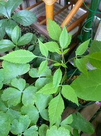 アナベルの苗の横からこんなのが生えてきました。 雑草なら抜きたいのですが。