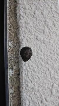 ベランダの壁に、焦げ茶色?黒い固まりがついてたんですが、これはなんの卵かわかりますか??教えてください
