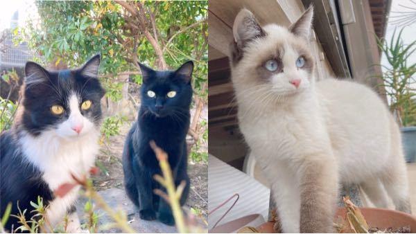 うちの庭に住んでる野良猫の柄について… 母猫の柄が全身黒で目の色は緑。父猫の柄が白黒のハチワレで目の色は黄。そして、子猫が3匹いて、そのうち2匹が全身黒で目の色は緑と黄。それで、残りの1匹がラグドールのような柄をしていて目の色も青でとても不思議に思うんですけど、どうして1匹だけ柄がこんなにも違うのですか? 猫に詳しい方やわかる方は教えてください。