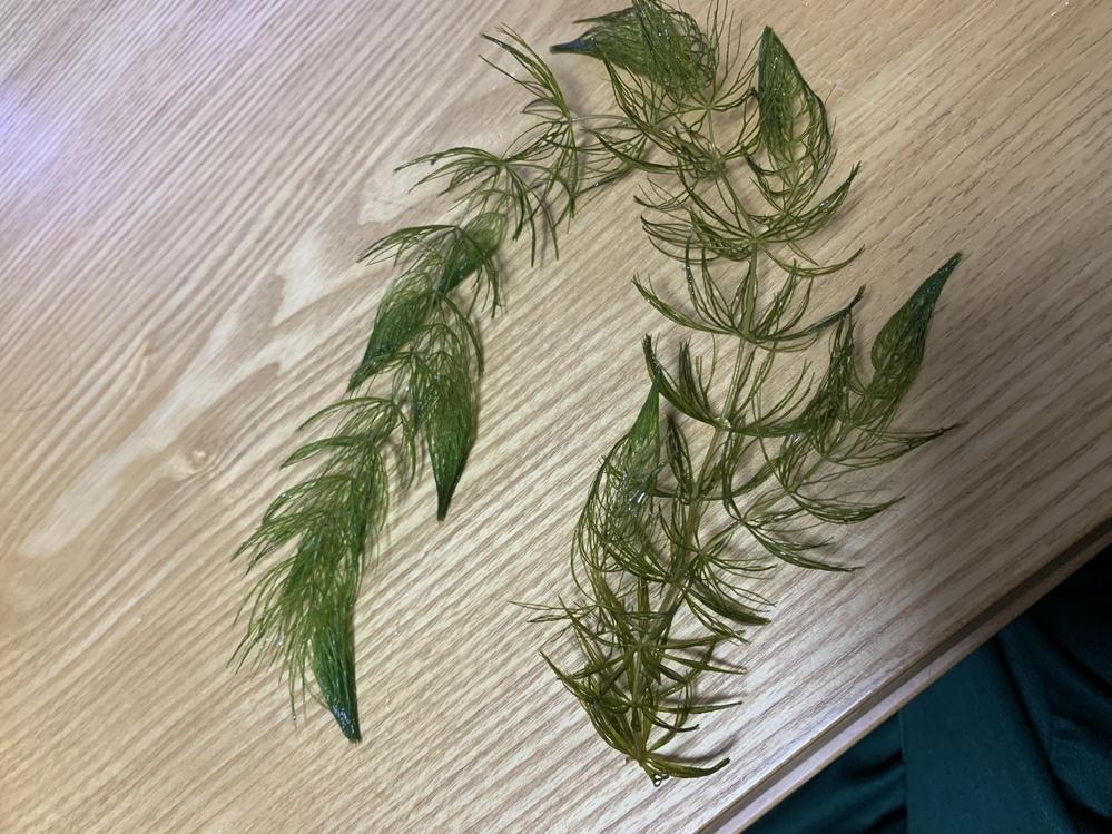 水草、マツモの育成についてです。 現在メダカ水槽に入れており、2週間ほどが経過しているのですが、マツモの調子が少しずつですが悪化していきます。枯れてしまったものは除去しました。どなたか原因が分か...