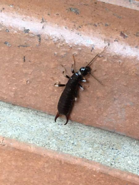 この虫がなにかわかる方いらっしゃいますか? ハサミがあってちょっと危なさそうに見えますが噛まれても平気でしょうか、、 調べても出てこなかったのでわかる方回答よろしくお願いします!