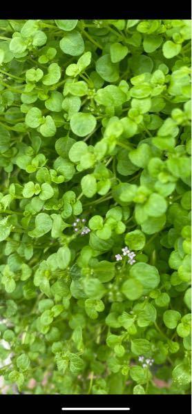 この植物はなんですか?教えて下さい。ディコンドラとの意見もありますがハッキリしません。 宜しくお願い致します。