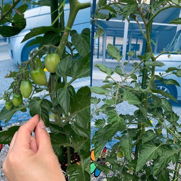 ミニトマト栽培です。プランターで育ててます。 アイコですが葉っぱがワサワサしています。 実もなってるのですがこんなにワサワサでいいのでしょうか? 定植1ヶ月です。肥料も与えましたが葉っぱが上向きや下向きが入り混ざってます。 大丈夫でしょうか?