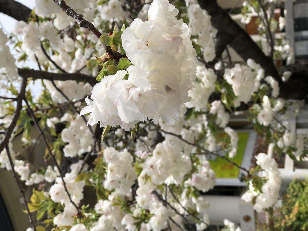 このお花はなんていう名前ですか。桜ですか?