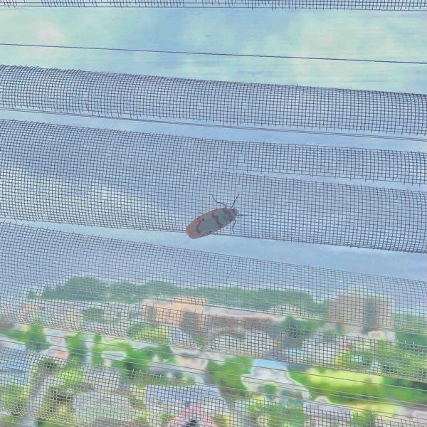 網戸に止まってたんですが、この虫何ですか? 白地に赤縞の紅白模様なのですが