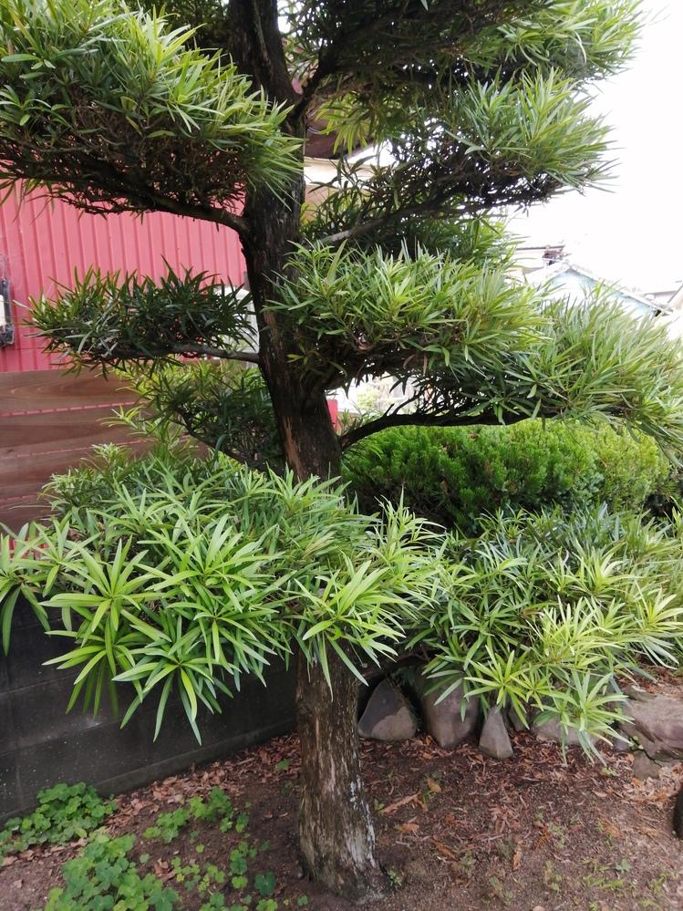 この庭木の名前を教えてください。 初夏から夏過ぎに揺すると、おやすみ中の蚊がいっぺんに動き出して困っています。