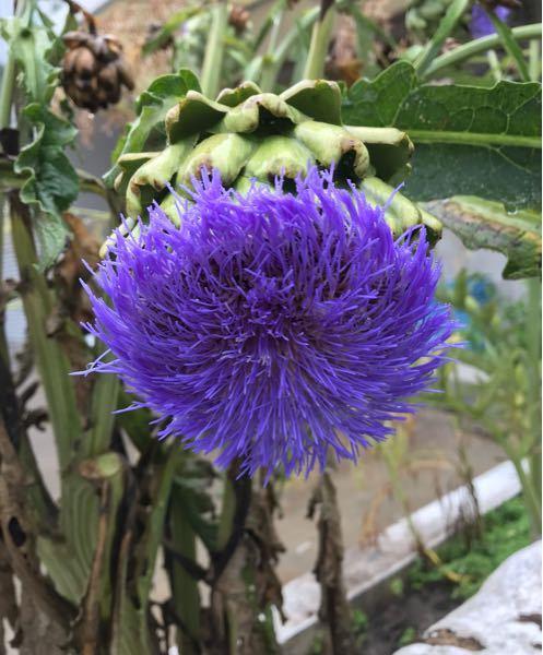 添付画像の植物の名前を教えてください。