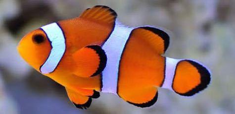 この子は金魚ですか? 後この子と一緒にピンポンパールは飼えますか?