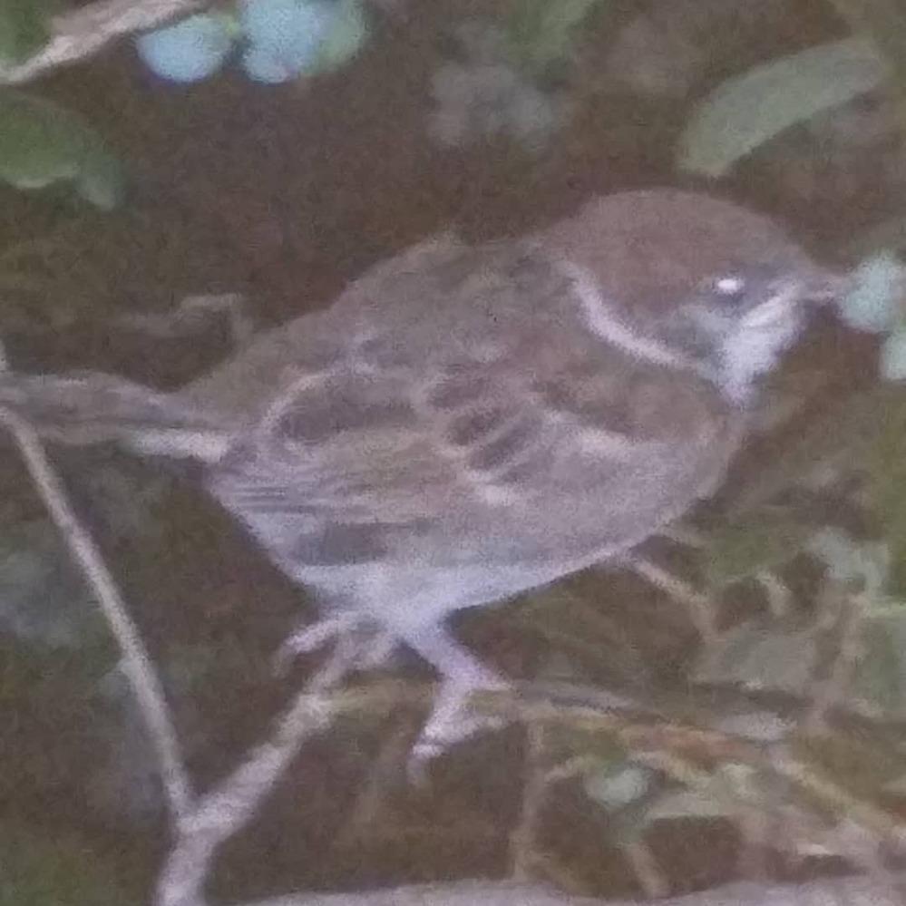 夜、家にあるブルーベリーの木を見に行ったら、スズメが枝に止まってまして、近づいても飛んでいきません 枝に捕まりながら寝てるんでしょうか?