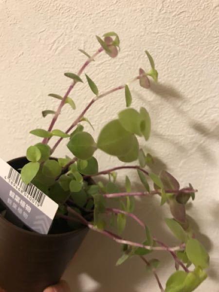 この植物の名前が知りたいです。 ダイソーで購入しました。 よろしくお願い致します。