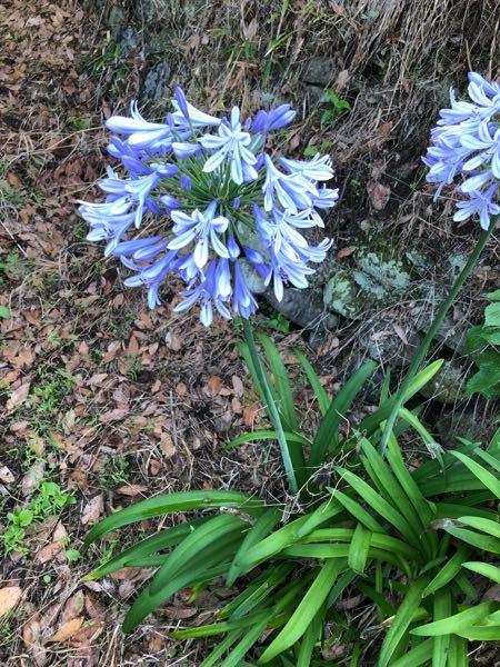 この花なんですか?? 庭の畑の隅にいつの間にか生えてきたのですが、雑草にしては綺麗な花だし、かといっていままで植えたこともないのでなんだろうと気になっています。 よろしくお願いします。