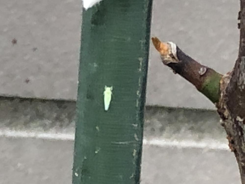梅の木に群がるこの虫の名前を教えてください。農薬蒔いてもダメです。