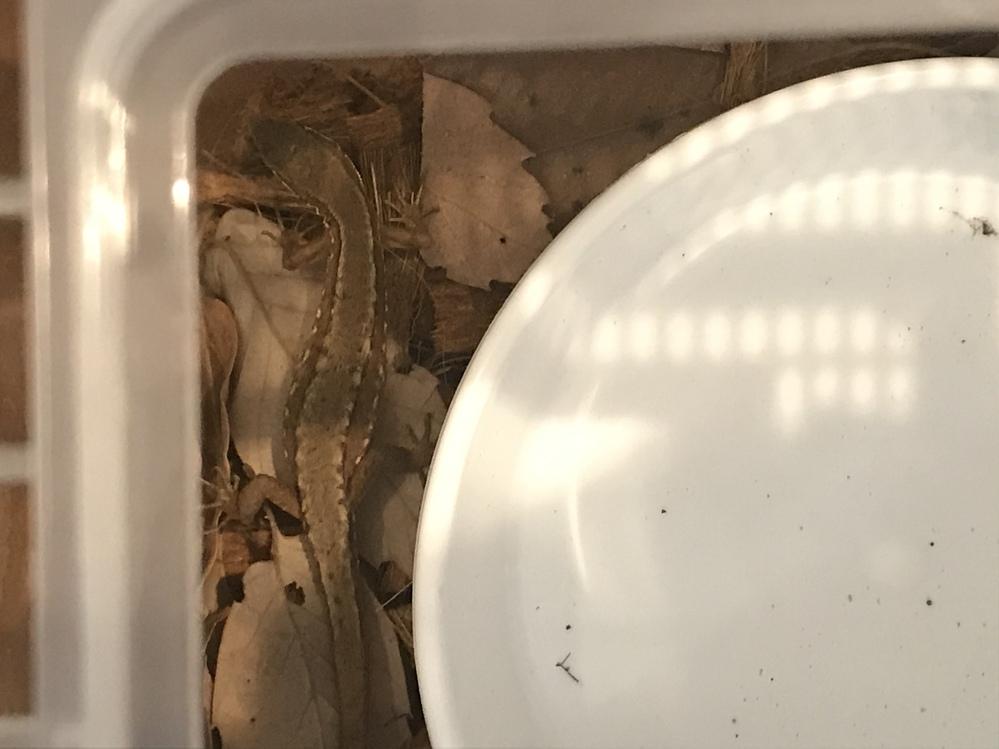 カナヘビを捕まえました。おそらくメスだと思うのですが、お腹が膨らんでいるような気がします。卵が入っているのでしょうか?