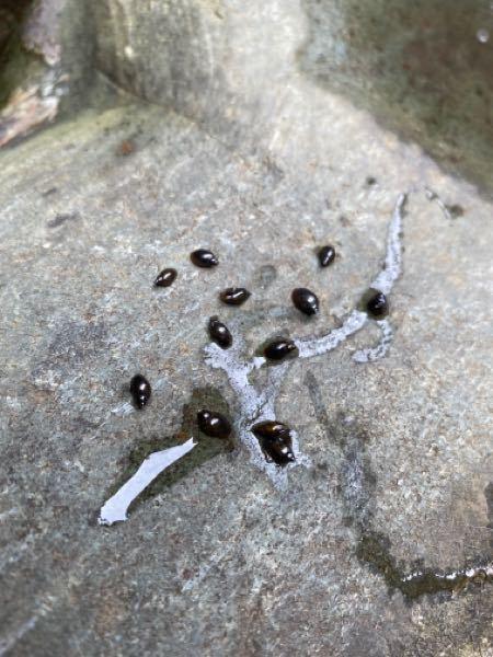 家の庭の水場にこのような貝が突然現れました まだ小さいようですが 写真わかりづらいかもしれませんが知ってる方いますか? 害があるなら駆除方法を教えてください