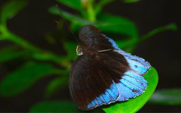 画像の蝶、 horsfield's baron という名前?らしいのですが 和名はなんというのでしょうか?