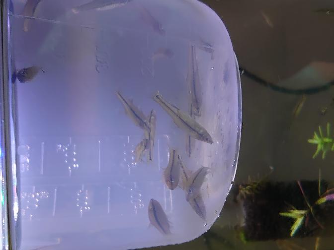 【至急】 この魚はメダカでしょうか?