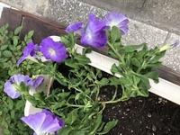 ペチュニアの元気がありません。 花は咲くのですが、茎が倒れてしまいます。 どうすれば元気になりますか?